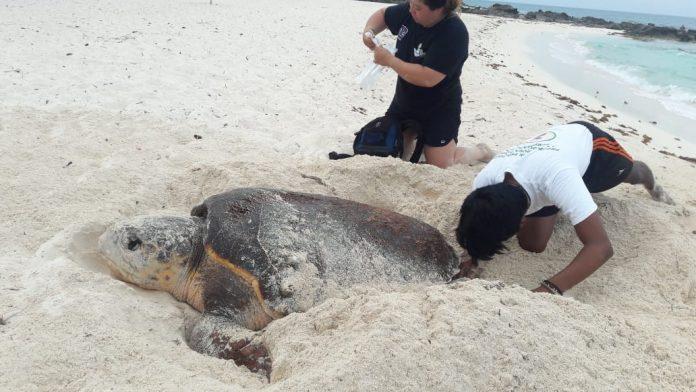 Hoy se celebra el día mundial de la tortuga marina con el acercamiento de cientos de especies a las costas de la ínsula