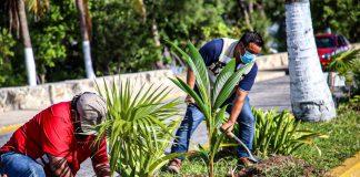El Ayuntamiento de Isla Mujeres encabezado por Juan Carrillo Soberanis realizó la reforestación de 60 plantas en el camellón central de la Avenida Rueda Medina y áreas colindantes.